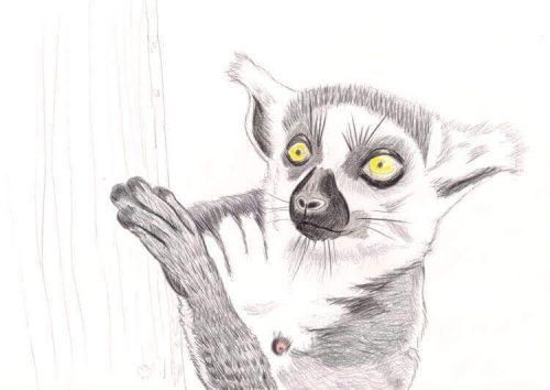Kattas zeichnen - Buntstiftkoloration Vordergrund 5