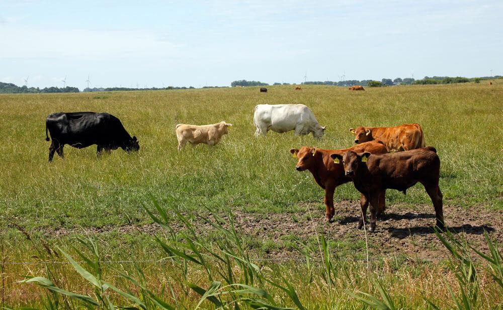 Fotovorlage zum Abzeichnen: Kühe auf der Weide