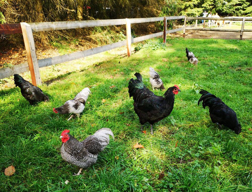 Fotovorlage zum Abzeichnen: Hühner auf der Wiese