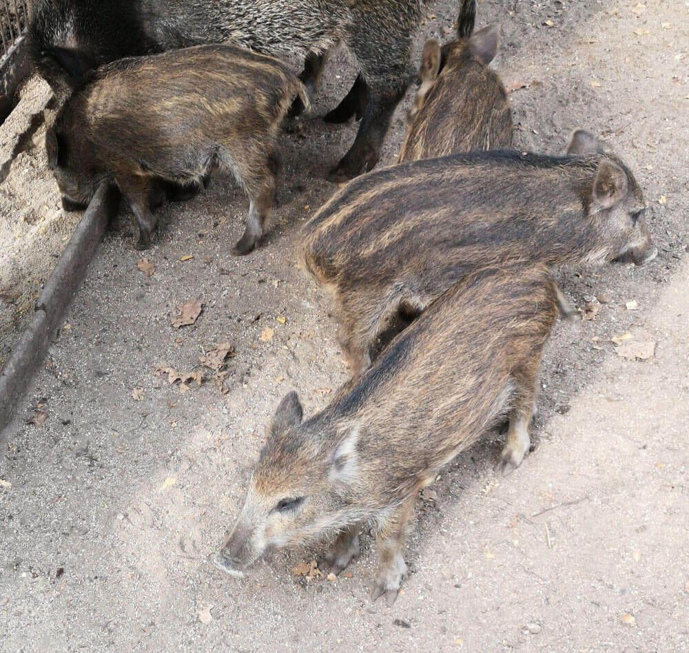 Fotovorlage zum Abzeichnen: Wildschwein Frischlinge
