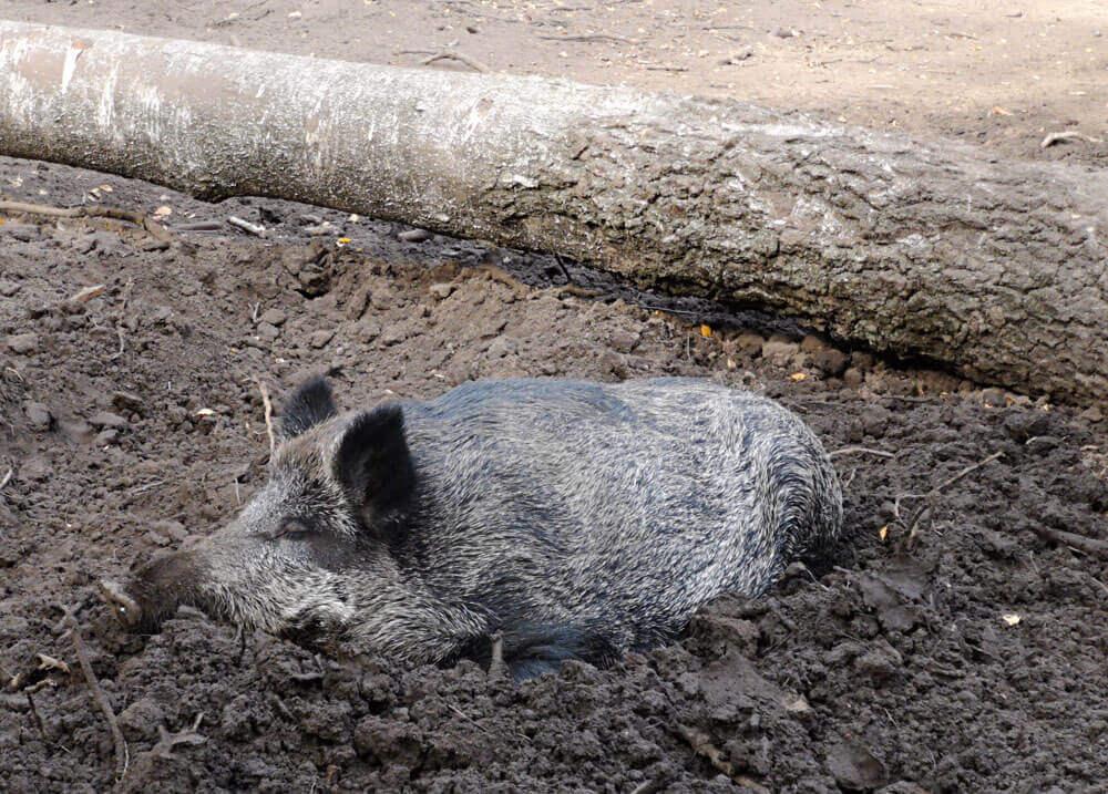 Fotovorlage zum Abzeichnen: Wildschwein im Matsch