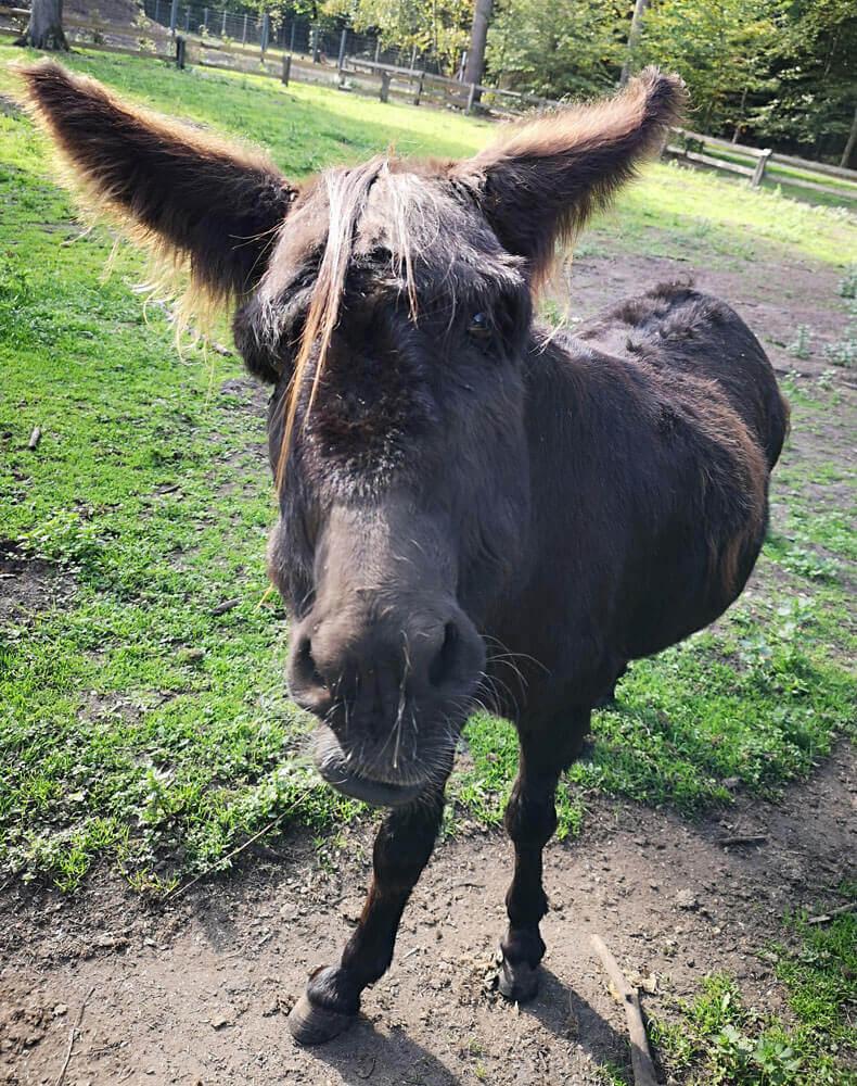 Fotovorlage zum Abzeichnen: Ein frecher Esel von vorn