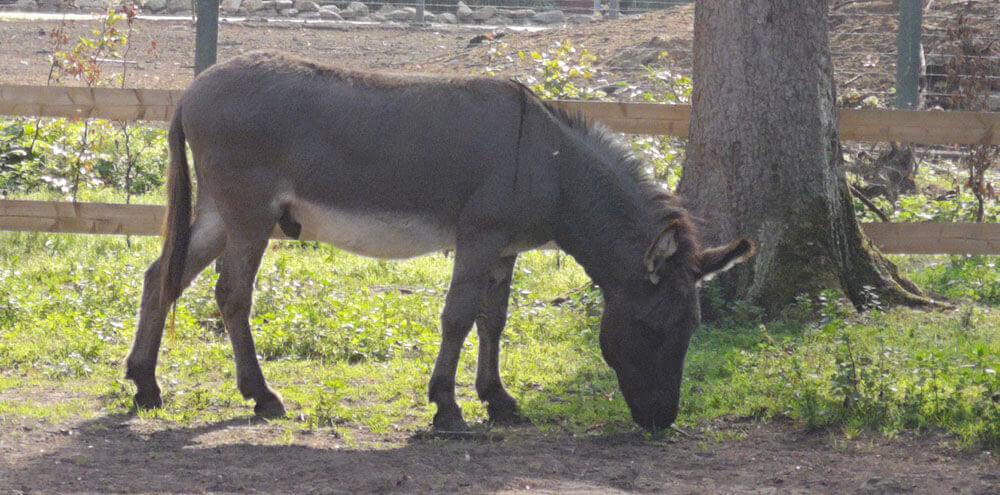 Fotovorlage zum Abzeichnen: Ein grasender Esel