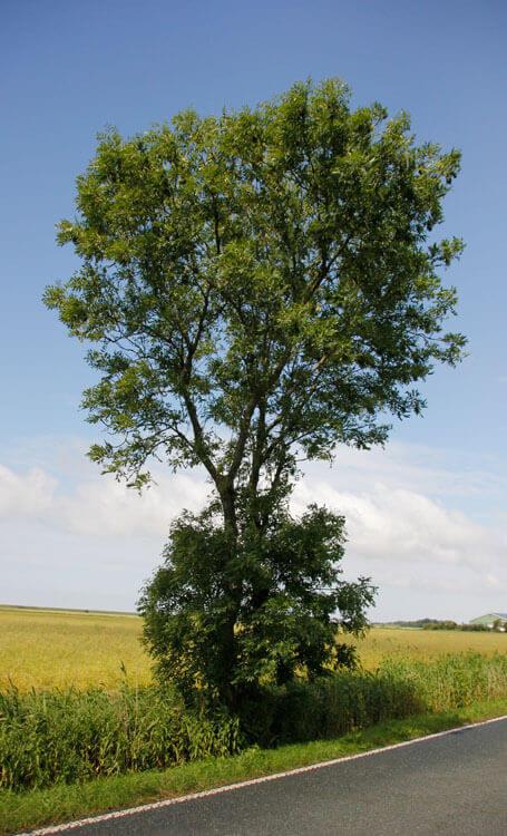 Fotovorlage zum Abzeichnen: Baum am Straßenrand