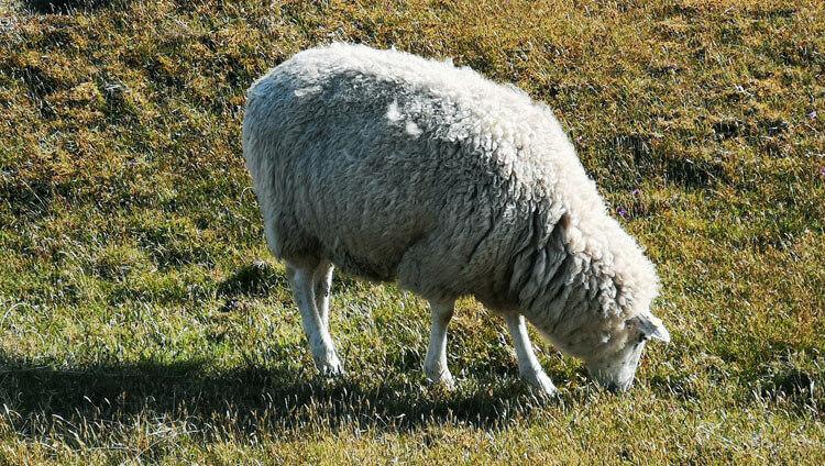 Schafe grasen auf Düne 1