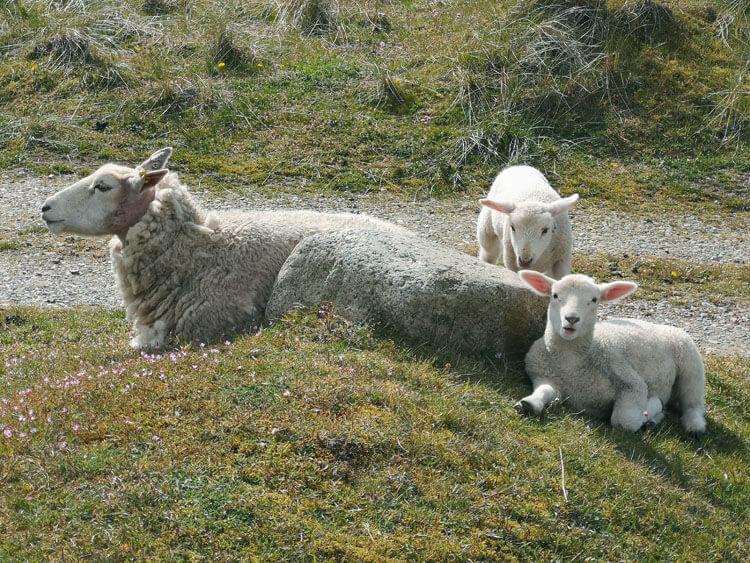 Schafe grasen auf Düne 2