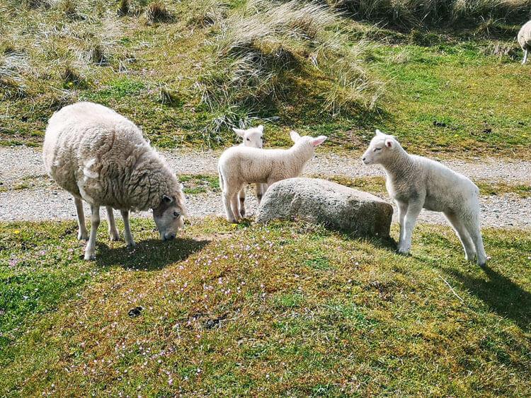 Schafe grasen auf Düne 3