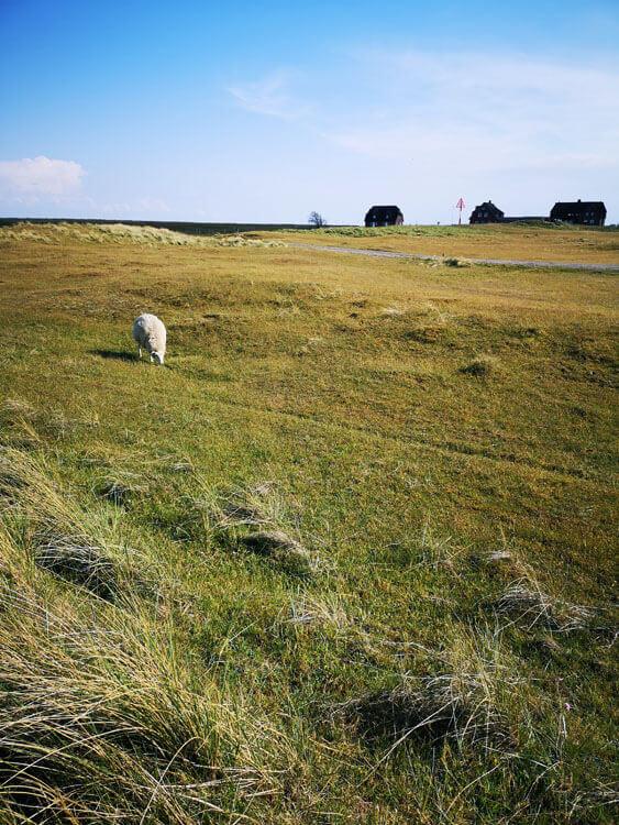 Schafe grasen auf Düne 4