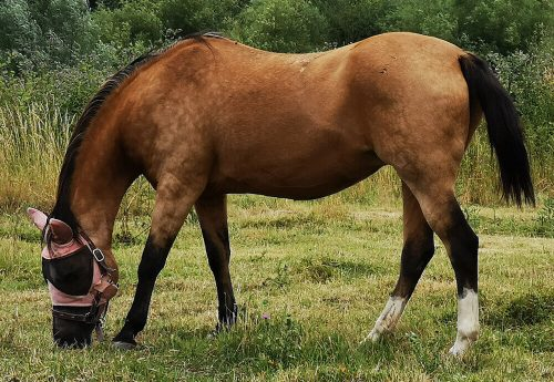 Pferd Fotovorlage zum Abzeichnen - Pferd grast 2