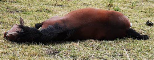 Fotovorlage zum Abzeichnen - Pferd liegt und steht auf 1
