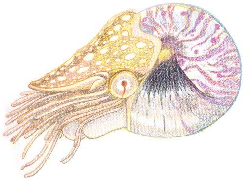 Nautilus malen mit Aquarellbuntstiften - fertig