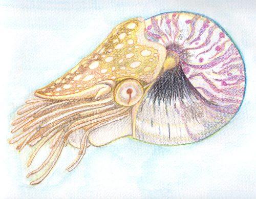 Nautilus malen mit Aquarellbuntstiften - Hintergrund vermalt