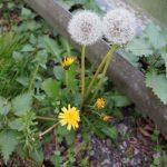 Löwenzahn Fotovorlagen zum Abzeichnen – Pusteblumen