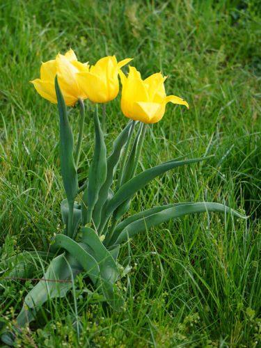 Tulpen Fotovorlage zum Abzeichnen - gelbe Blume