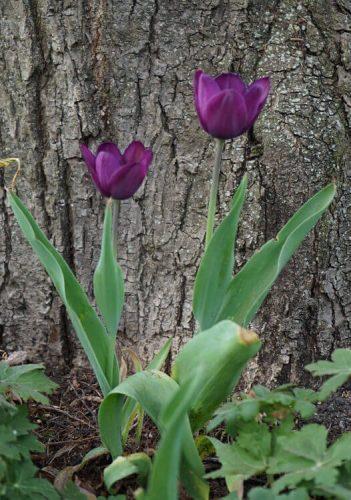 Tulpen Fotovorlage zum Abzeichnen - lila Blume 1
