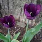 Tulpen Fotovorlagen zum Abzeichnen