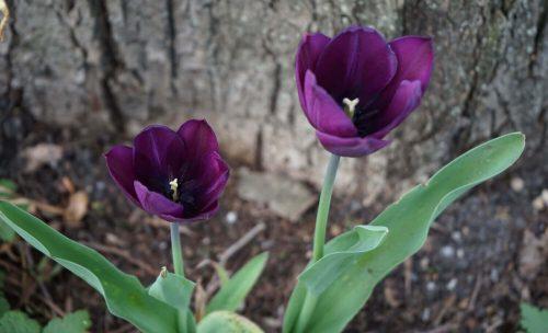 Tulpen Fotovorlage zum Abzeichnen - lila Blume 2