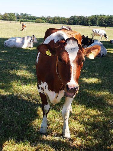 Kühe Fotovorlagen: Stehendes Rind 2