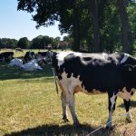 Kühe Fotovorlagen zum Abzeichnen – Rinder