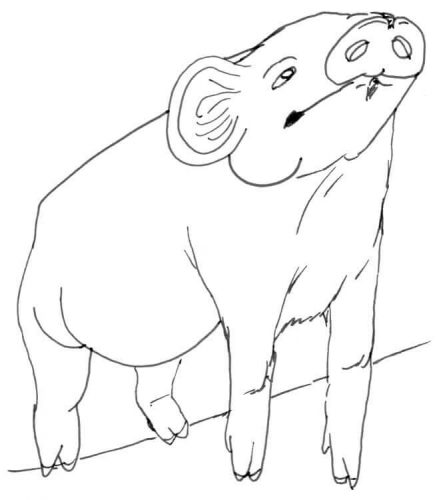 Schweinchen schaut nach oben Zeichnung
