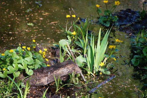 Waldblumen im Teich 1