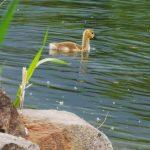 Wasservögel Fotovorlagen zum Abzeichnen Gänseküken
