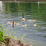 Wasservögel Fotovorlagen zum Abzeichnen Gänsefamilie