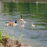 Wasservögel Fotovorlagen zum Abzeichnen Gänsefamilie 2
