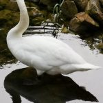 Wasservögel Fotovorlagen zum Abzeichnen Schwan 4