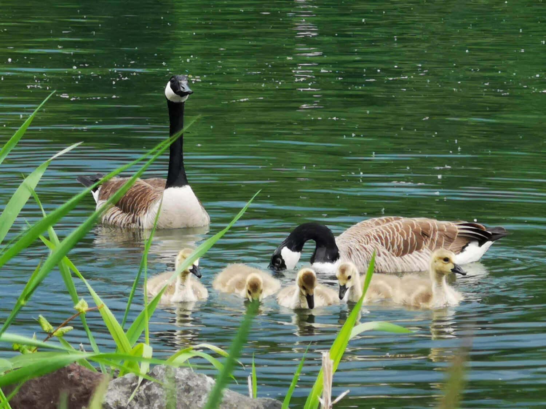 Wasservögel Fotovorlagen zum Abzeichnen – Gänse und Schwan