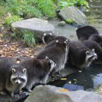 Waschbär Fotovorlagen zum Abzeichnen – süße Waschbären in Aktion