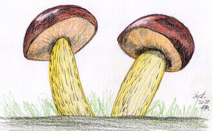 Pilze zeichnen: Kolorierung fertige Pilzzeichnung