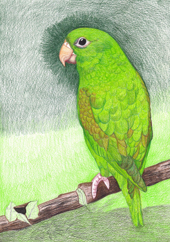 Grünen Papagei zeichnen mit Buntstifte - Hintergrund