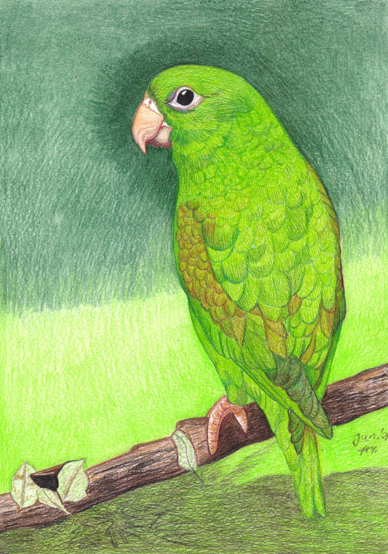 Grünen Papagei zeichnen mit Buntstifte - Fertige Zeichnung