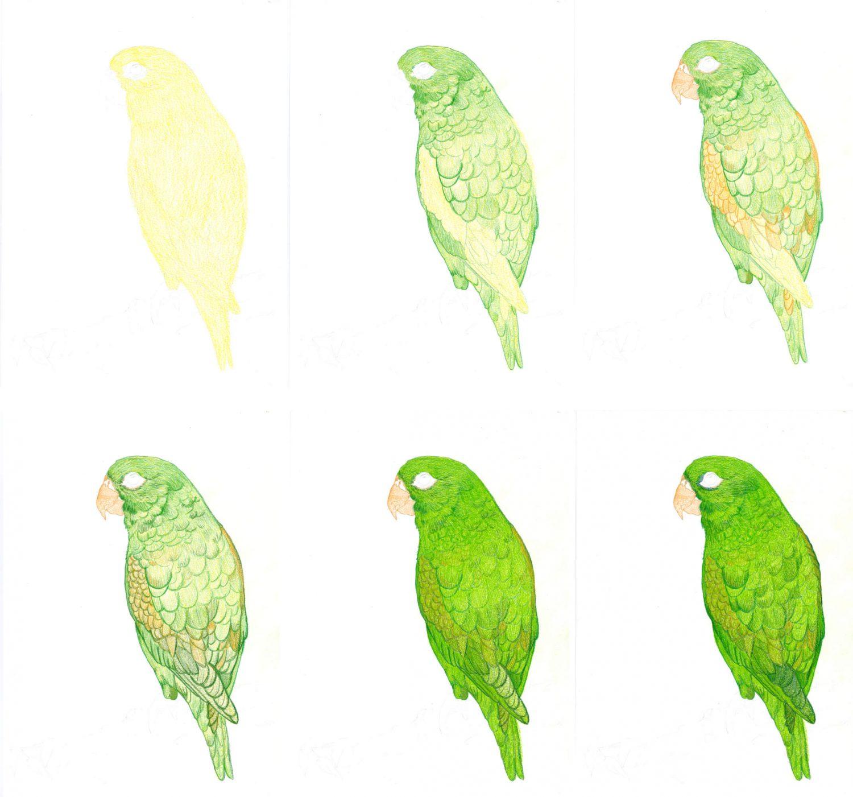 Grünen Papagei zeichnen mit Buntstifte - Schritte 1