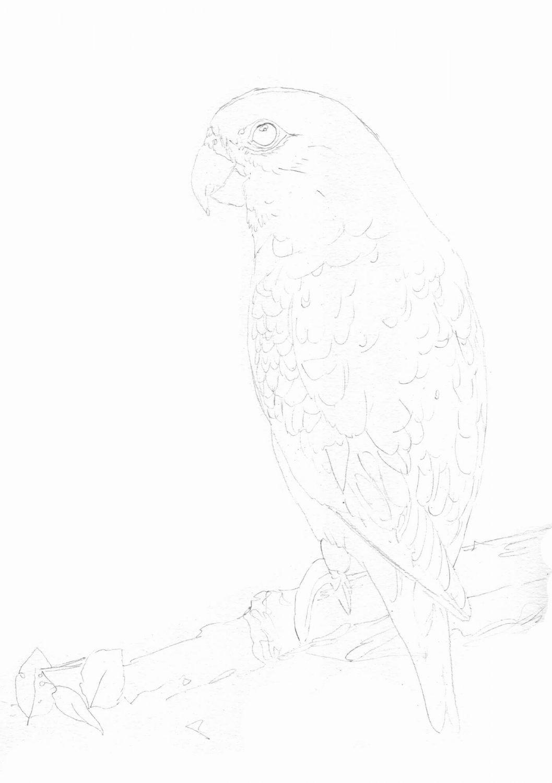 Grünen Papagei zeichnen mit Buntstifte - Bleistiftskizze