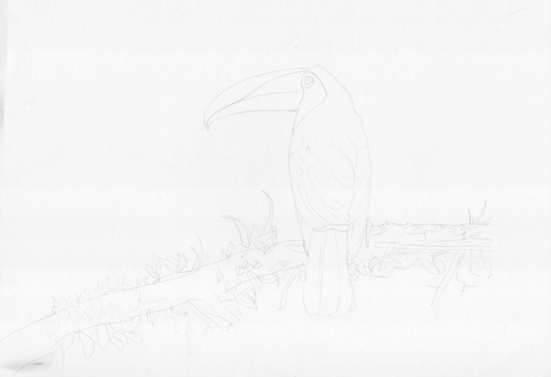 Tucan zeichnen Bleistiftskizze