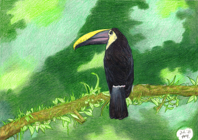 Tucan zeichnen fertige Buntstiftzeichnung