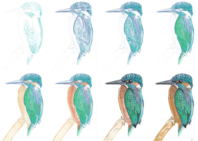 Tutorial Eisvogel zeichnen mit Buntstiften einzelne Schritte