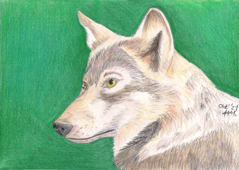 Fertige Buntstiftzeichnung vom Wolf Portrait