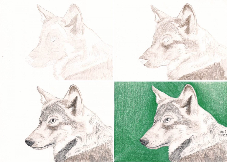 Wolf Portrait Buntstiftkolorierung die einzelnen Schritte 1