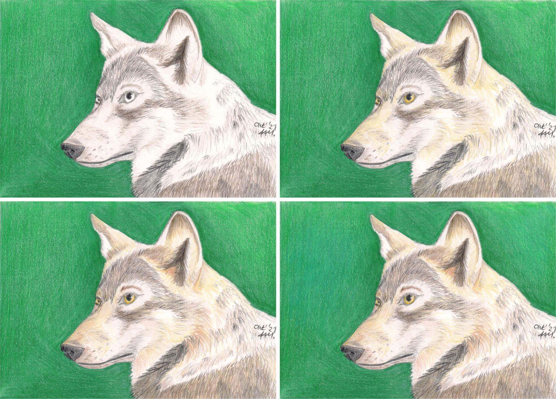 Wolf Portrait Buntstiftkolorierung die einzelnen Schritte 2
